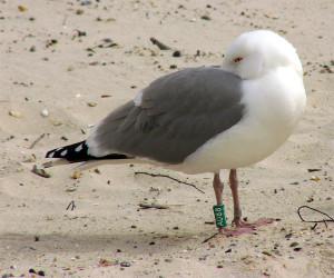 Eksempel på ringmerket fugl. (Andreas Trepte, www.photo-natur.de)