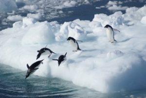 Bilde av pingviner, tatt av Norith Eckbo.